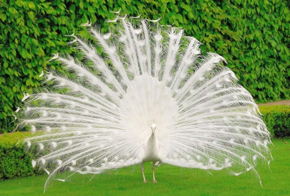 effective 1 on 1 meetings should not be as rare as an albino peacock